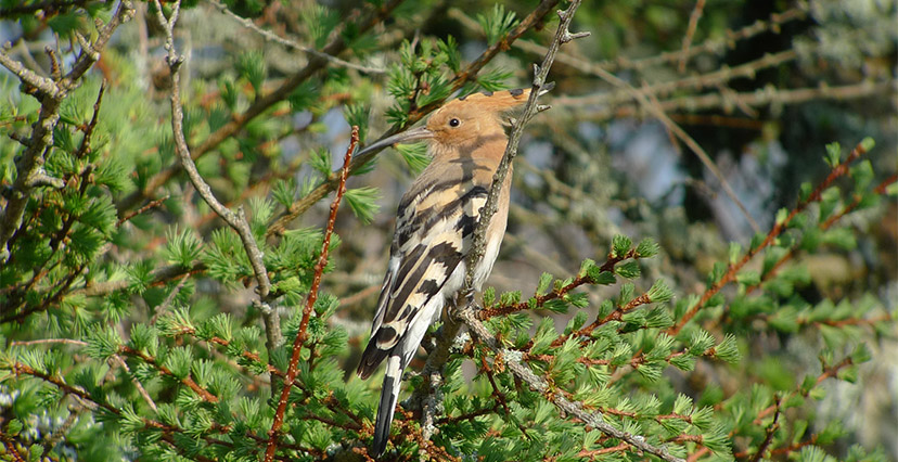 Image of Hoopoe