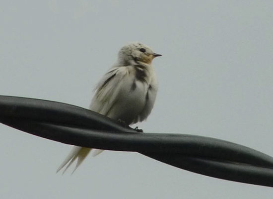 Image of White Swallow