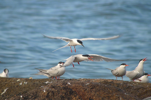 Image of Terns