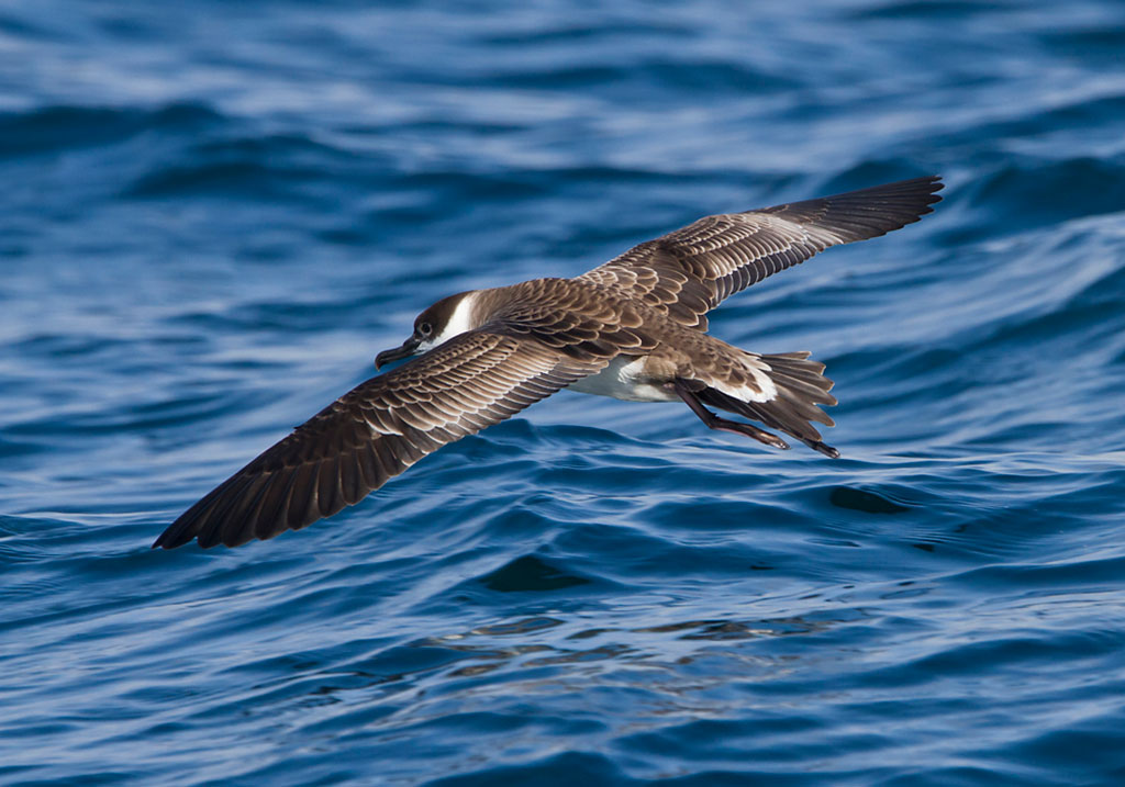 Image of Shearwater
