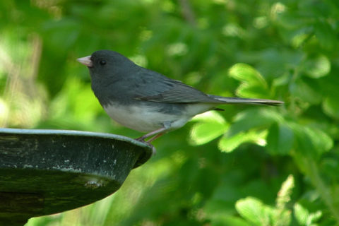 Image of Dark-eyed Junco