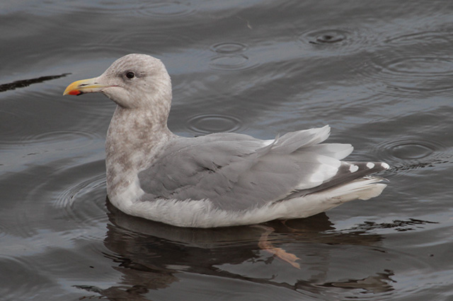 Image of Glaucous-winged Gull
