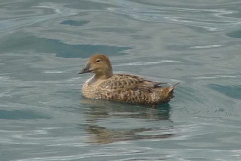 Image of King Eider