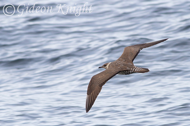 Image of Long-taled Skua