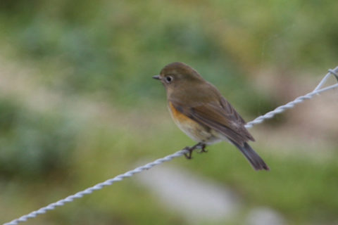 Image of Red-flanked Bluetail