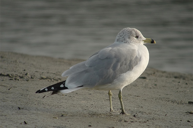 Image of Ring-billed Gull