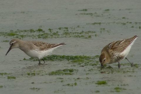 Image of White-rumped Sandpiper