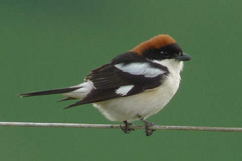 Image of Woodchat Shrike
