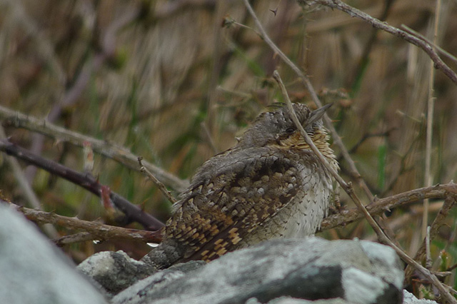 Image of Wryneck